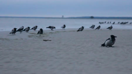 gatherer : Migratory Hooded crows gathered on seashore in deep twilight. Feed gang of hungry omnivores predators. Bird twilight thief. Blurry night shot Stock Footage