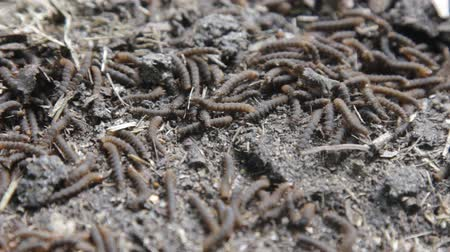 disintegration : A lot of swarming worms in ground. Grave worms, death worm (And they shall lie down alike in the dust, and the worms shall cover them. Bible). Larvae, caterpillars of insects, saprobiont, necrophage Stock Footage
