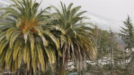 szubtropikus : subtropical black sea coast of the Caucasus in winter time. Old palm trees. Abkhazia, Adjara. Ancient Colchis