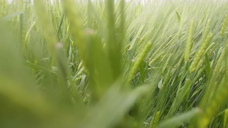 otruby : Good year. Bread cereals are wall. Barley at the stage of milky-wax ripeness Dostupné videozáznamy