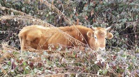 cow eats : Black sea region, cow in forest and meadow in wind grass. Thin cows often lead in Caucasus forest lifestyle at winter, almost feral cow without shepherd Stock Footage