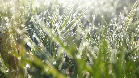 cseppfolyósítás : Magnificence of living nature. Green grass leaves with drops of dew (heavy dew) like string of pearls. Raw foggy morning, dewpoint, springtide. Cheerful mood