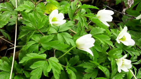 anemon : Wood Anemones (Anemone nemorosa) in typical light forest, first spring flowers. White forest flowers in dew drops