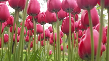 decorador : pink Tulip flower is a favorite and bright. garden decoration flowers landscape design Stock Footage