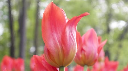 floriculture : red flower Tulip is a favorite and bright. garden decoration flowers landscape design