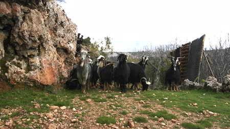 dikenli : large herd of goats on a rocky mountain path. Pets lined up in front of camera in indecision and waiting for shepherd