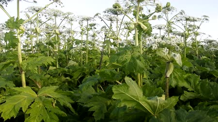 invasive : Giant herbaceous plants, jungle of grass height of 3 m. Sosnowskis Hogweed (cow parsnip Heracleum) is introduced species (invasive plant) in Europe Stock Footage