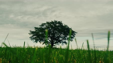 estigma : Lone harmonic tree (spreading oak) on sloping field. Concept of solitary free growth, concept of separation (wood from forest), stigmatization Vídeos