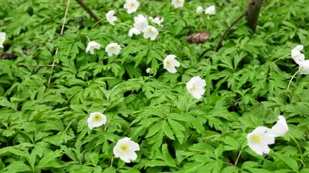 kankalin : Wood Anemones (Anemone nemorosa) in typical light forest, first spring flowers. White forest flowers in dew drops