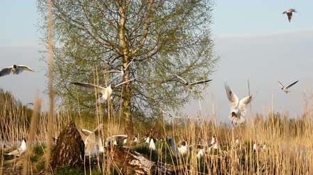 período : Black-headed gulls formed colony that has built nests and lay eggs. Spring revival. Restless nesting bird life