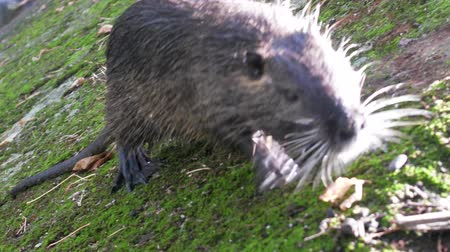 myocastor : Nutria on banks of canal, search for food. Wild nutria inhabit ponds and rivers (reservoirs with low-flow or stagnant water) of Europe, Small animal swims. France