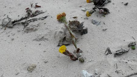 csöves virág : Unpretentious flowers foalfoot (coltsfoot, Tussilago farfara). Flowers primroses (early flowering) of aeolian sand, beginning of spring