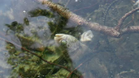 terribly : terrible sight is an abandoned fishing net in a lake with dead fish. forgotten Seine caught dead perch Stock Footage
