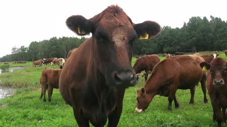 baltık denizi : Pasture on Baltic sea shore. Cow closeup on meadow, tagged owners. Breed of hornless cows of meat direction. Redpol cow breed, English cattle, Groningen, Polled Angus, beef strain, meat breed