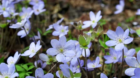kankalin : Spring flowers Europe. Noble mayflower (Hepanca nobilis). Blue eyes of spring with long eyelashes, drops tears (rain) call this flower in people. Flowers in old deciduous forest on background of trees Stock mozgókép