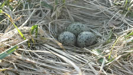 kavramak : Nest of black-headed gulls with typical clutch of eggs. Three speckled eggs are in nest made of dry grass, weave a nest. Reproduction of birds, nestling bird Stok Video