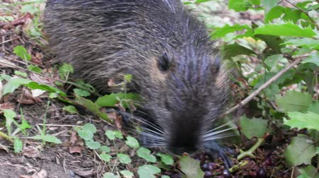 bigode : Nutria on banks of canal, search for food. Wild nutria inhabit ponds and rivers (reservoirs with low-flow or stagnant water) of Europe, Small animal swims. France