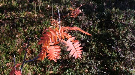üvez ağacı : Autumn. Red pinnate leaves of Rowan on dwarf tree in the Northern forest-tundra