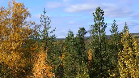 softwood forest : Mellow autumn in forest. Golden autumn aspen and birch. Sad beauty of autumn and Royal rich colors. Scandinavia, Lapland