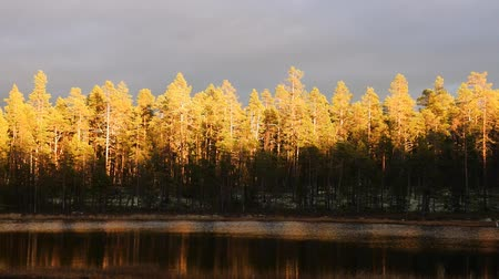 торф : sunrise of autumn sun painted tops of pines against gloomy rain clouds