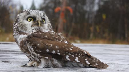 spite : Tengmalms owl on the background of wood structures and distant forests