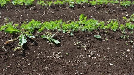 sektör : Sprouts of carrot on the field, farming. Lines of hill carrot plantings. Camera shoots from below