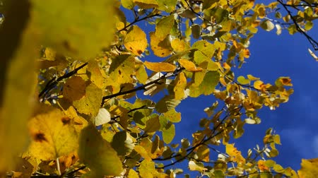 düşmeler : Middle autumn. All the leaves turned yellow at the birch. Shooting against a blue sky. Stok Video