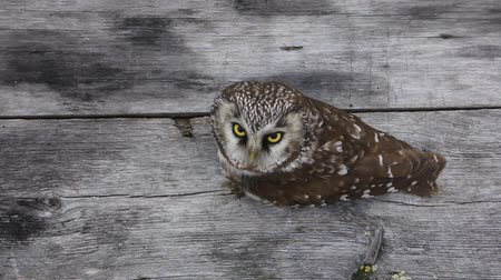 malice : Tengmalms owl on the background of wood structures and distant forests