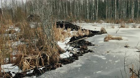 levee : Beavers live under ice in winter, beaver dam. Beavers have built dam, raised water level in river. Cattail fluff is flying in the wind, seeds with the wind distribution