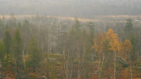 softwood forest : Foggy autumn forest landscape with a lot of old dry pine trees. Northern forests, taiga