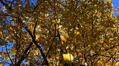 another : Middle autumn. All the leaves turned yellow at the birch. Shooting against a blue sky. Stock Footage
