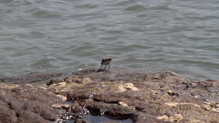 fed : Northern sandpipers winter on the coast of the Arabian sea. common sandpiper (Actitis hypoleucos)