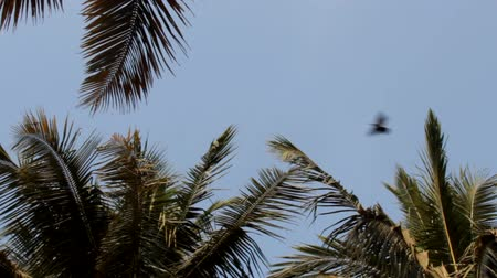 assombro : Indian house crows on palm trees and circling in the sky