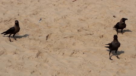 assombro : Indian house crows are the main inhabitants of beaches in Goa, India Vídeos