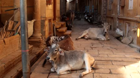 tag : Cows freely recline in the narrow streets of Indian cities among cars and motorcycles, sacred cow. In the province of Rajasthan evening picture