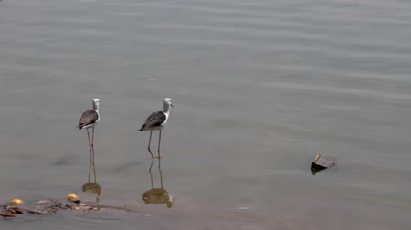 fed : black-winged stilt (Himantopus himantopus) on wintering in India