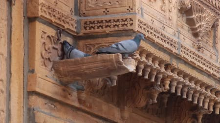 rock dove : Rock dove are caring for a female in the rain sink a wonderful old balconies with carved stone (glyptic). The worlds oldest Indian culture continues to live its millennial life. Indian architecture