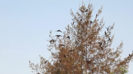 assombro : Many IIndian house crows (Corvus splendens) on the tree. Birds of India Vídeos