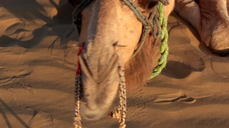 nakládané : Lying camel chews cud. It is seen that rein is stretched through nostrils of animal and sharp stick fixes rope, camel is evil restless animal and bridle in nose to control. Great Indian desert (Thar)