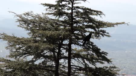 morinda : Valley Of The Himalayas. Jungle crow (Large-billed crow, Corvus macrorhynchos) frames the Himalayan spruce. Indian birds Stock Footage