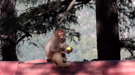 himalaia : The Rhesus macaque (Macaca mulatto) sits on the roof ridge and eats a stolen flat cake in the background of the Himalayan valley against the background of huge Himalayan firs