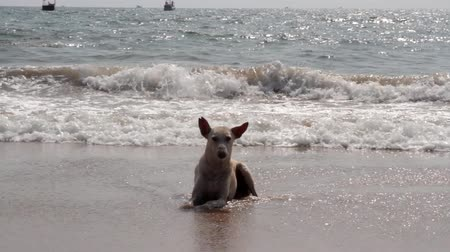 ter cuidado : Funny Indian stray dog from Goa bathes in the Arabian sea, fishing boats on the water. Malabar Coast Vídeos