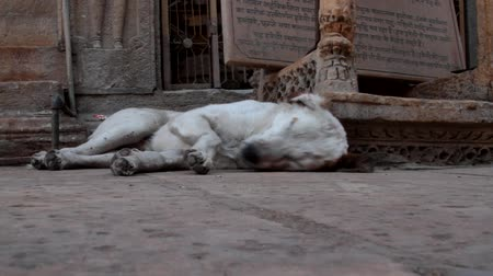 perseguição : White stray dog can not rest because of the abundance of flies in the streets of Indian cities