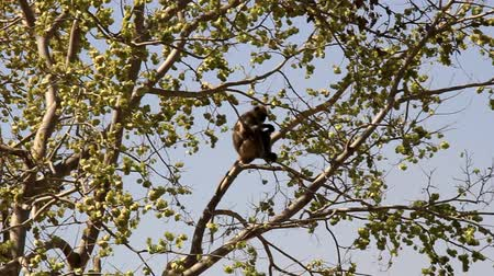monkey temple : Langur feeds on the tree, sits confidently. India