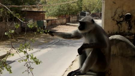 synanthropic animals : Langur eats small fruit tree sitting on the fence. India