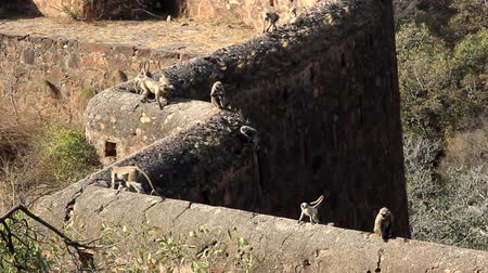 vanity : langura monkeys jump on the fortress wall and balance with a long tail, pack of monkeys with cubs in the Indian city as in the book of Mowgli (Bandar-logs) Stock Footage
