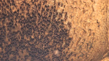 сосать : A huge number of bats hanging piles and sways as bobble fruit on a beautiful brick vault of dungeon. North India Стоковые видеозаписи