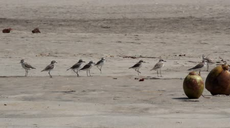 들새 관찰 : Coconuts lying on the beach and between it running around the greater sand plover (Charadrius leschenaultii) and other plovers that flew to the wintering. Exotic Indian ocean, Malabar coast.