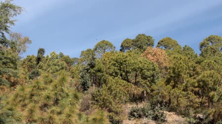 shiva : Coniferous forests with predominance of Himalayan pine (Pinus grifithi) on the dry slopes of the Sivalik ridge. Ravens circle above the forest. Pre-Himalayas Stock Footage