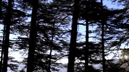 shiva : Himalayan firs and silver-fir on the mountainside. View from the window of a moving car Stock Footage